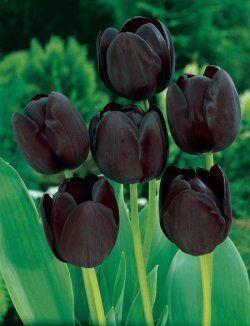 Darwin Queen tulipan