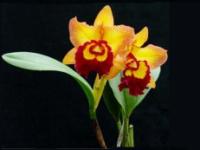 Orchidéudstilling 1897